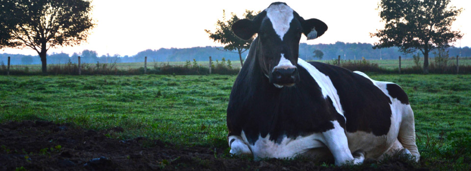 Large bovine laying down